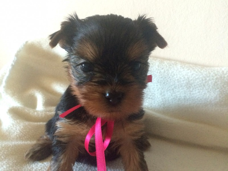 Shiny Star - Yorkshire puppy for sale